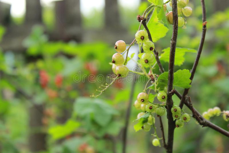 Unripe red currant only begins to blush in the early summer on the branche. S of the bush royalty free stock photography
