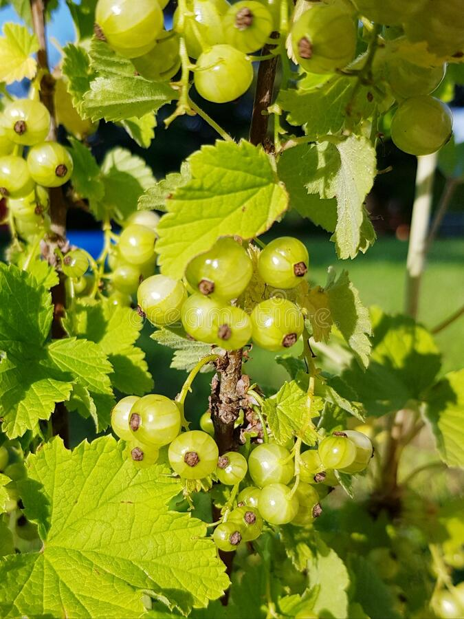 Unripe red currant. Closeup of currant fruit. royalty free stock image