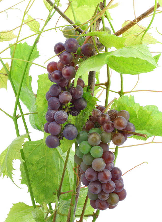 Download Unripe red grapes stock photo. Image of healthy, eating - 15936612