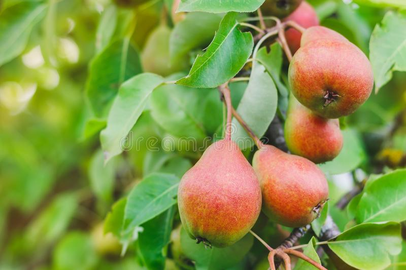 Unripe red-green pears on a branch of a tree in the garden on a sunny summer day. Close up stock photo