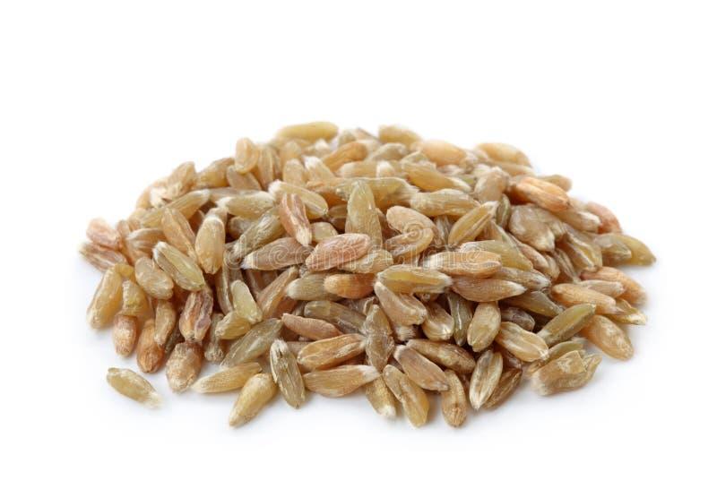 Unripe spelt wheat stock photo