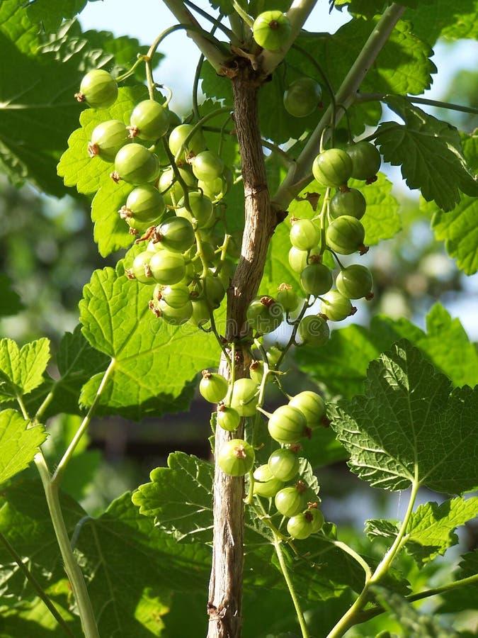 unripe svart vinbär arkivbilder