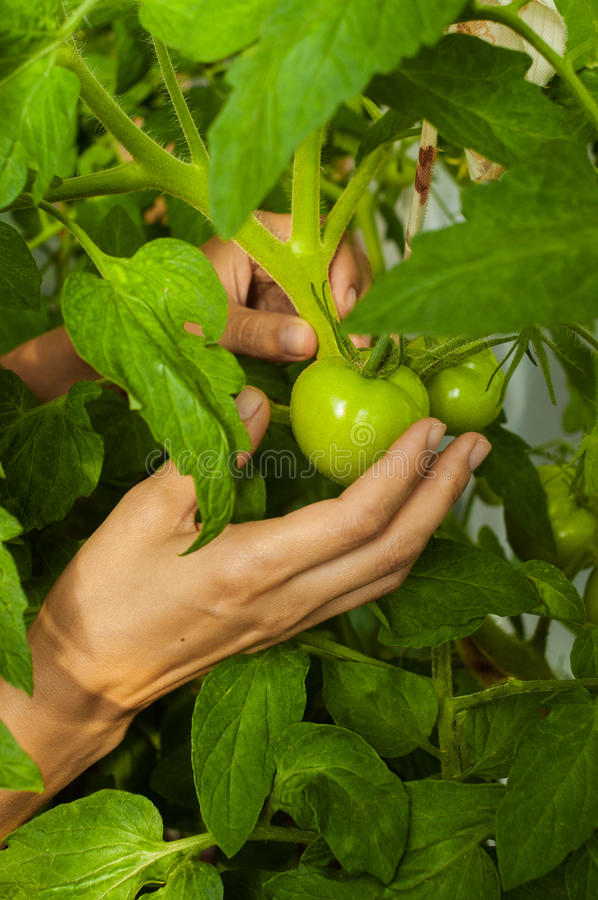 Unripe tomatoes in the hands of girl close-up stock image