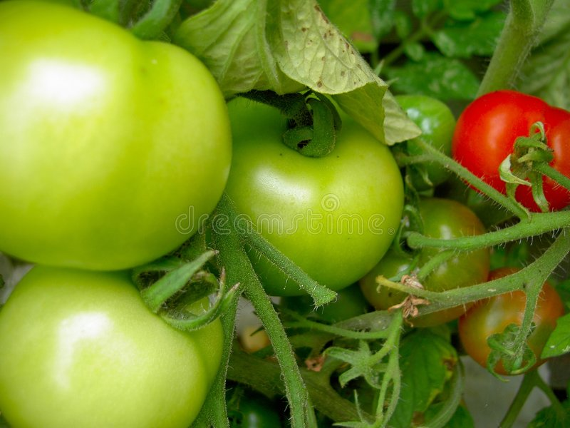 Download Unripe Tomato Plant Royalty Free Stock Image - Image: 1986