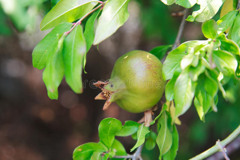 Unripe wild green pomegranate on a tree on a sunny day. Selective focus stock images