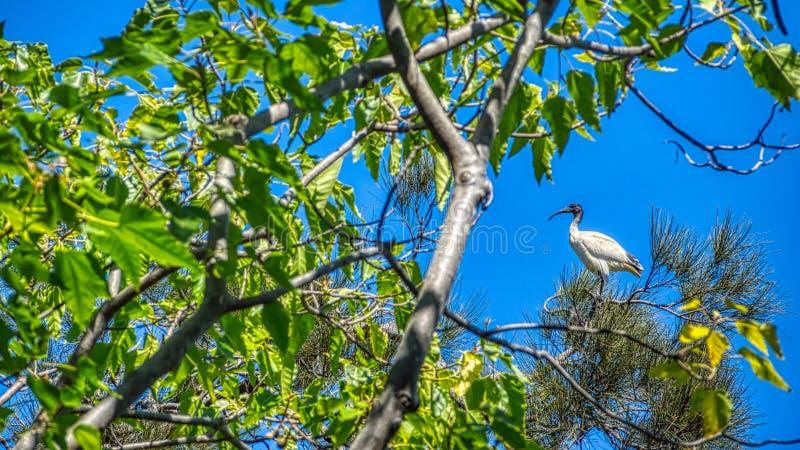 Uns íbis brancos australianos, Threskiornis molucano que senta-se em uma parte superior da árvore foto de stock