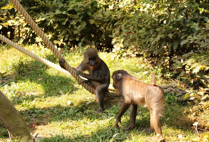 Uns dois jovens da esfinge do mandrillus Macacos que relaxam após a luta entre se No parque natural com cordas fotografia de stock