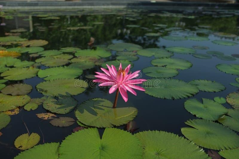 Uns lótus cor-de-rosa sós na associação fotografia de stock royalty free