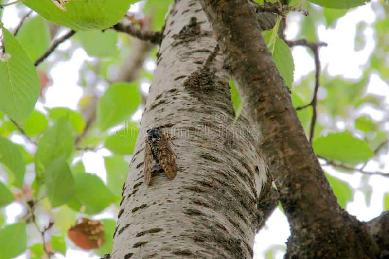 Uns locustídeo asiáticos ou um grande grilo na casca de um tronco de árvore do vidoeiro imagem de stock