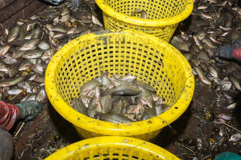 Uns lotes de peixes sa-iluminados pectoralis do trichogaster imagem de stock