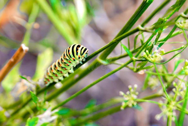 Uns rastejamentos listrados e coloridos grossos da lagarta ao longo da folha na reserva fotografia de stock royalty free