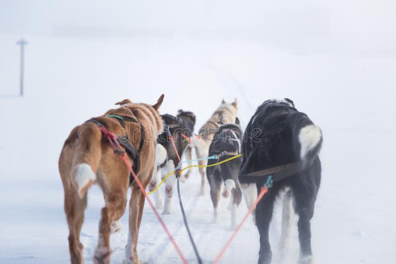 Uns seis cães bonito chovem canivetes puxar um trenó Imagem tomada do assento na perspectiva do trenó Divertimento, esporte de in imagem de stock royalty free