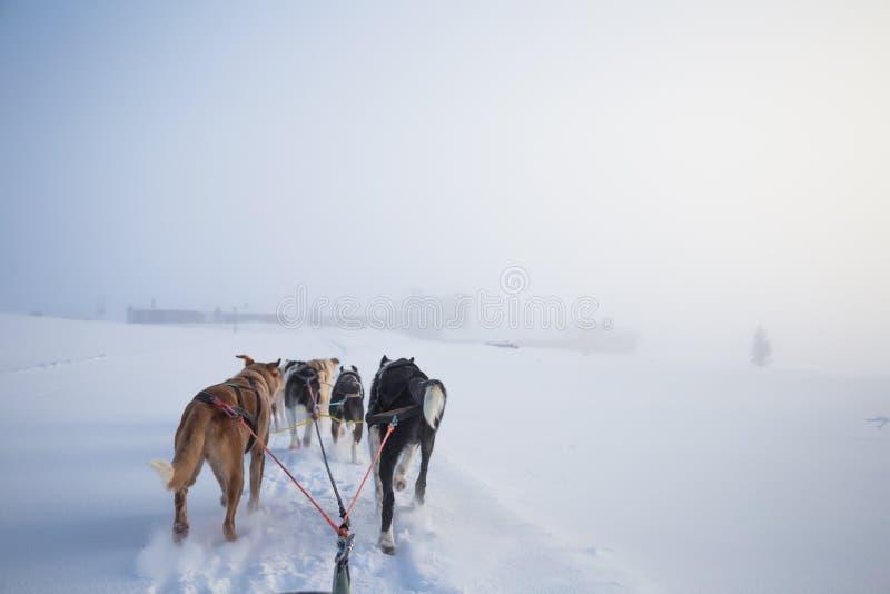 Uns seis cães bonito chovem canivetes puxar um trenó Imagem tomada do assento na perspectiva do trenó Divertimento, esporte de in imagens de stock