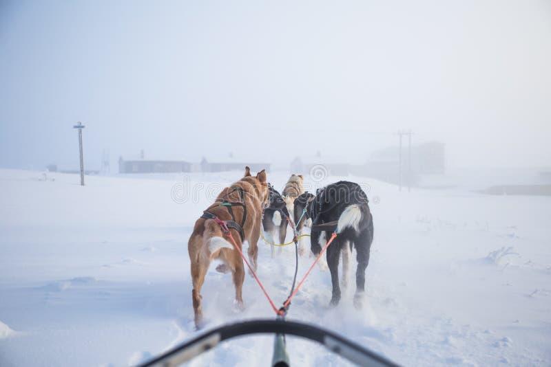 Uns seis cães bonito chovem canivetes puxar um trenó Imagem tomada do assento na perspectiva do trenó Divertimento, esporte de in fotografia de stock royalty free