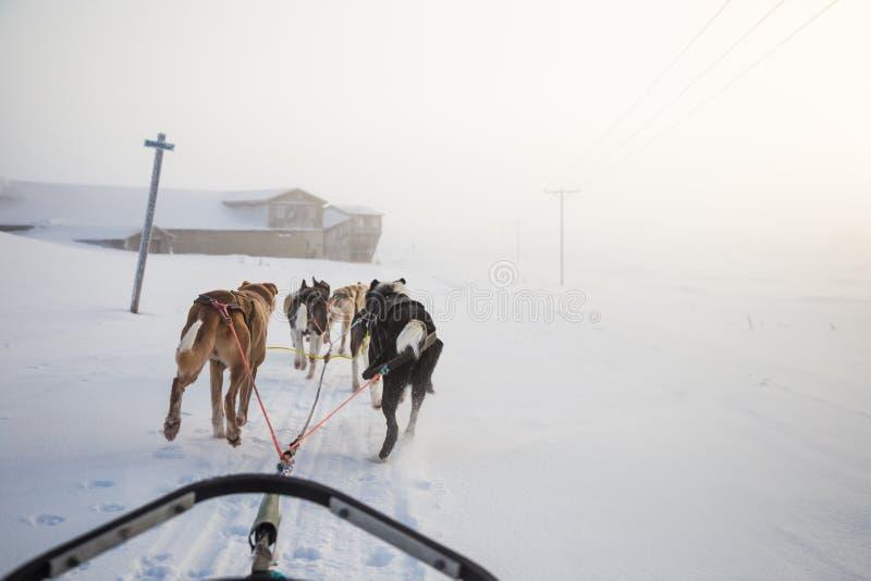 Uns seis cães bonito chovem canivetes puxar um trenó Imagem tomada do assento na perspectiva do trenó Divertimento, esporte de in foto de stock