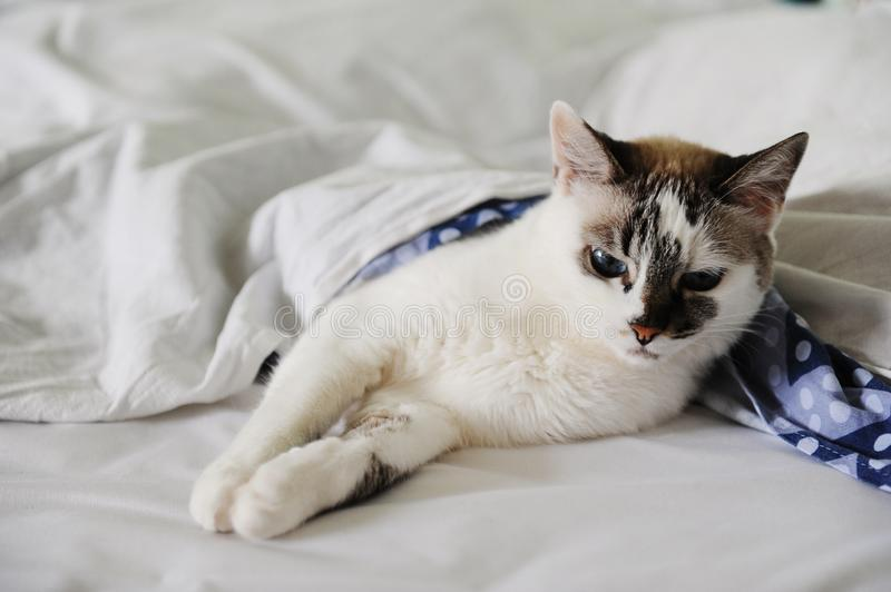 Unsatisfied woke-up white fluffy blue-eyed cat lies in bed, covered with a blanket royalty free stock image