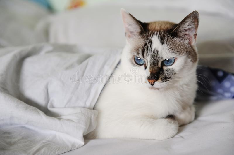 Unsatisfied woke-up white fluffy blue-eyed cat lies in bed, covered with a blanket stock images