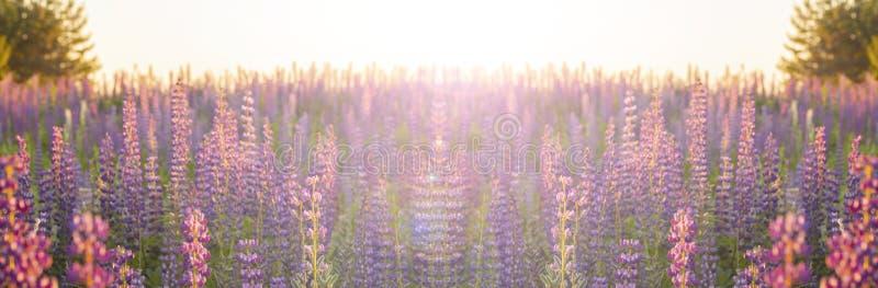 Unscharfe Blumenlandschaft in den Pastellfarben Panoramafahnen-Hintergrundtapete Blühende blühende Lupinenblumen der Wiese lizenzfreie stockfotografie