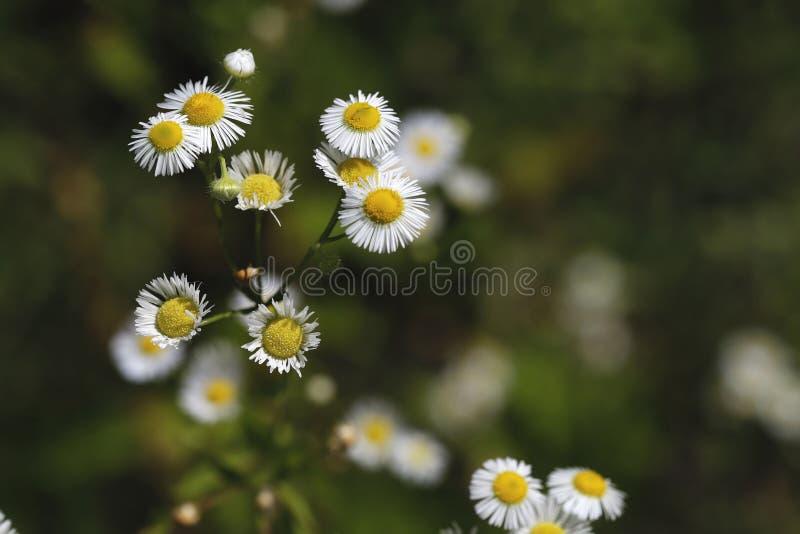Unscharfe Hintergrund-Naturschönheit Zarte Blumen des weißen Gänseblümchens im Garten gegen einen bokeh Hintergrund lizenzfreies stockfoto