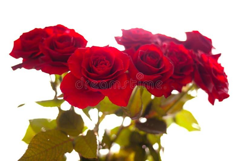 Unscharfe rote Rosen auf lokalisiertem Hintergrund lizenzfreie stockfotos