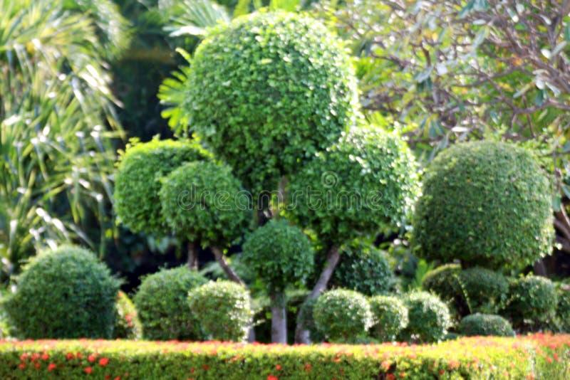 Unscharfer Gartenbaum, unscharfer Hintergrund des Verbiegens bepflanzt kugelförmigen Strauchgarten des Bereichbaumgrünblattes mit stockfotos