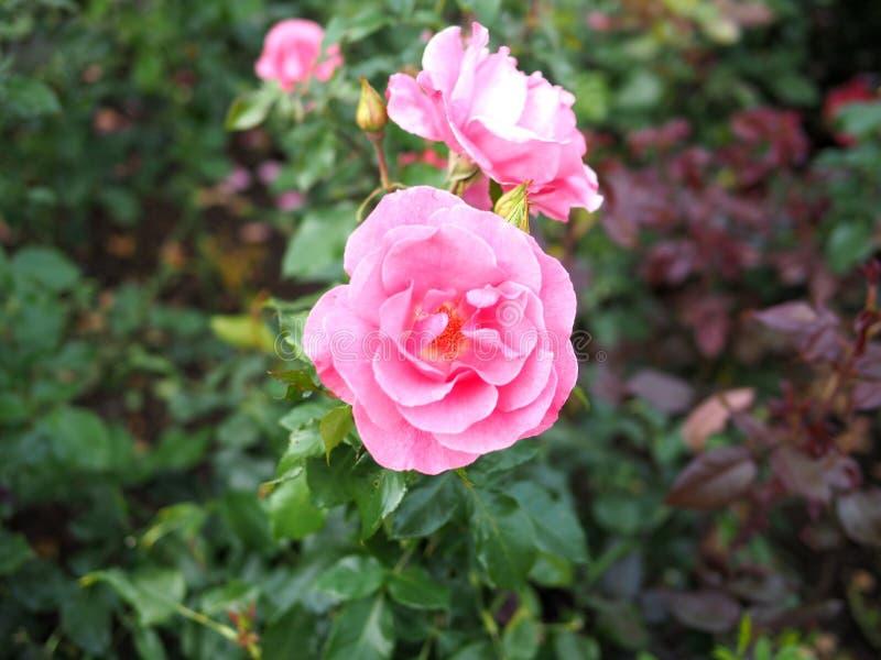 Unscharfer Hintergrund der Rosarose, Rosarosenhintergrund stockfotos