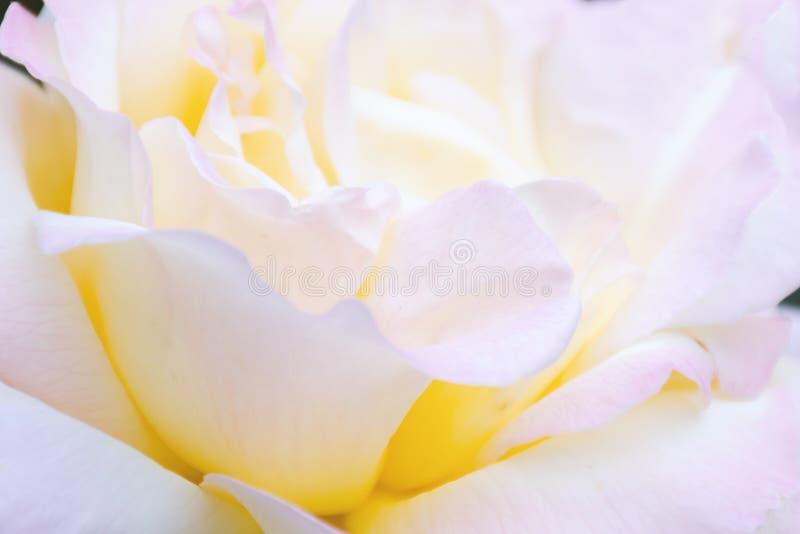 Unscharfes Bild - Rosarosenblume, natürliches abstraktes Makro Texturhintergrund, leichte Blumenblätter nah oben stockfoto