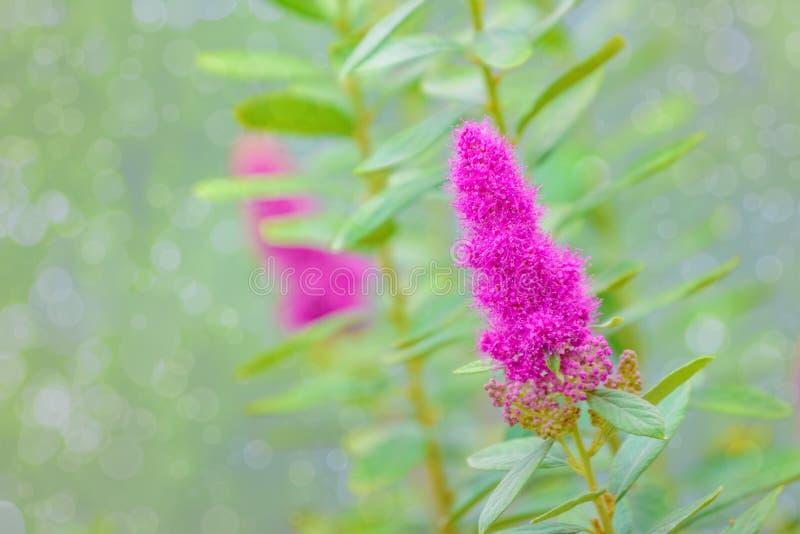 Unscharfes Hintergrund malvenfarbenes Wildflowers bokeh stockfotografie