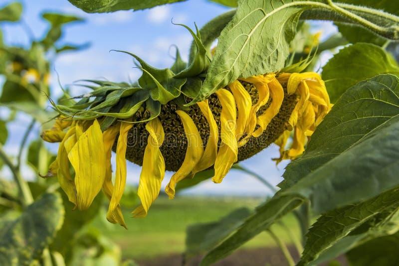 Unscharfes reifes Sonnenblumenfeld des Hintergrundes stockbilder
