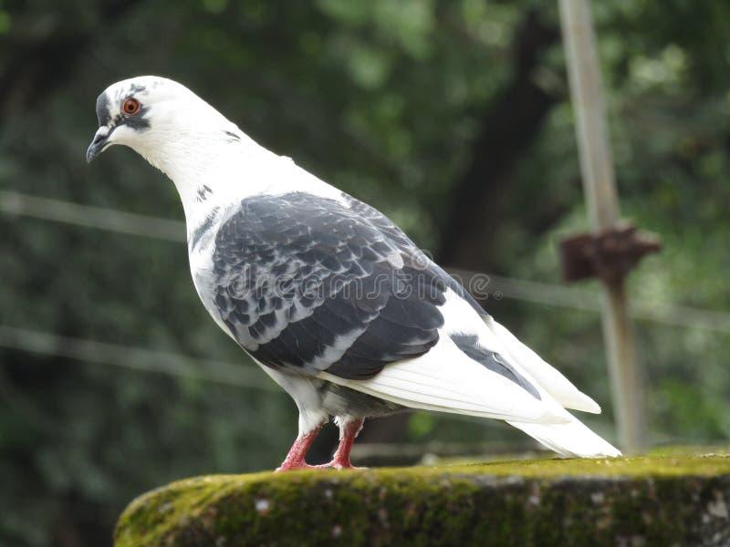 Unschuldiges weißes Taubenaufpassen lizenzfreie stockfotos