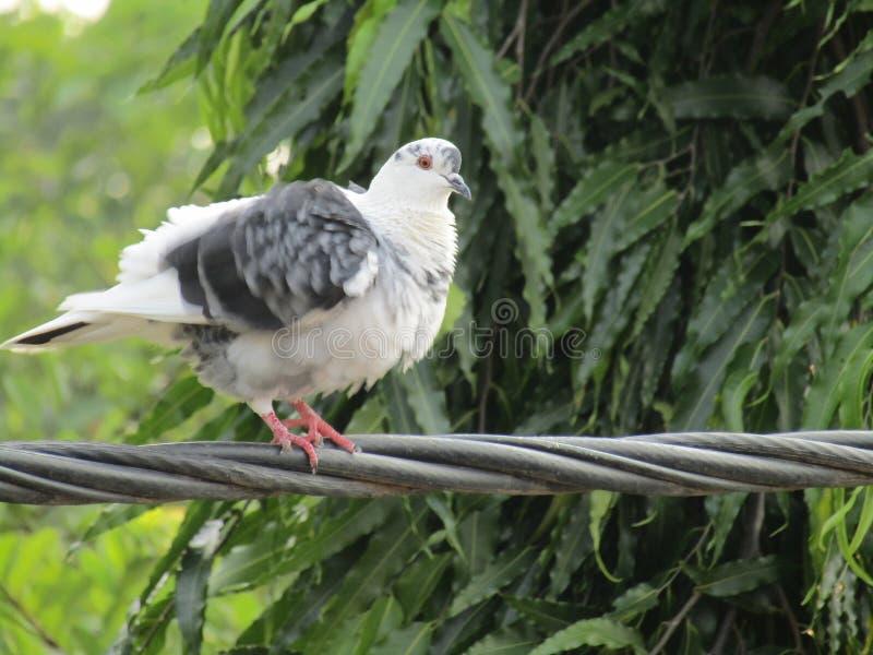 Unschuldiges weißes Taubenaufpassen stockbilder