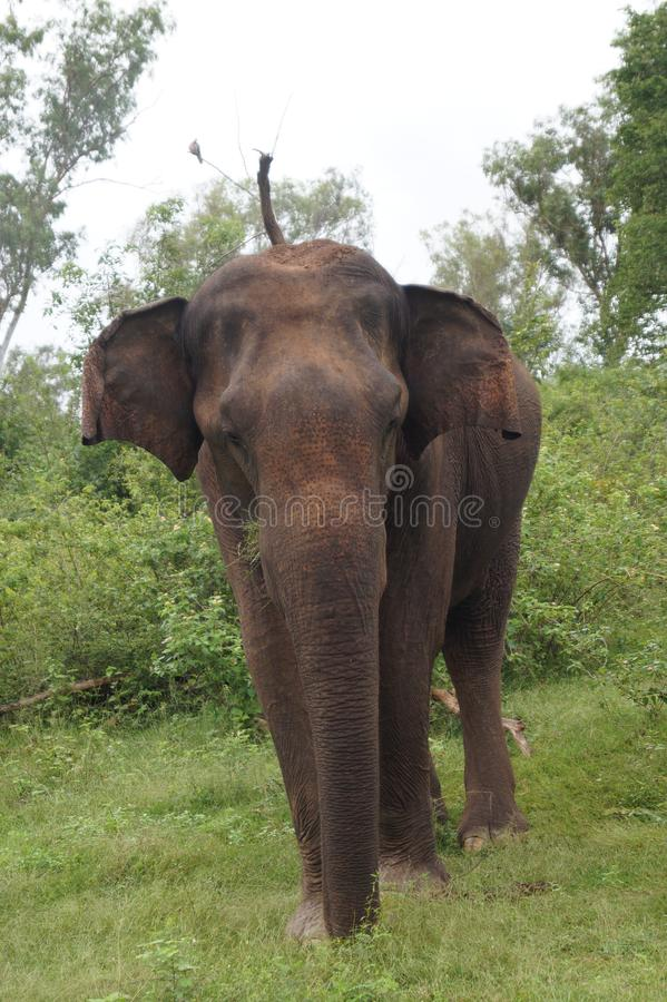 Unseen Beauty in Sri Lanka. This is a wild Elephant in Sri Lanka. I found him in the park of udawalawa royalty free stock photo