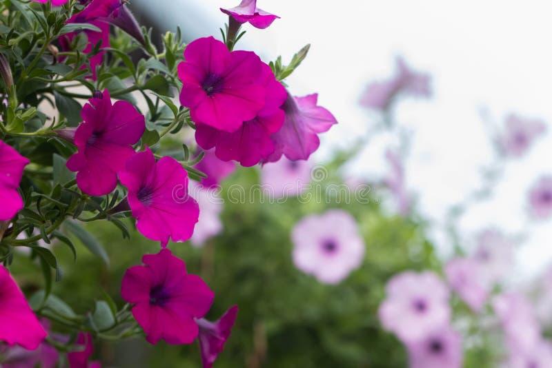 Unser Uhr oder Wunder von Peru-Blume Mirabilis jalapa lizenzfreies stockbild