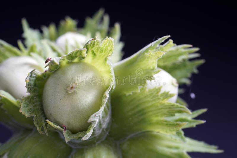 Unshelled hasselnötter behöver fortfarande några veckor att äta royaltyfria foton