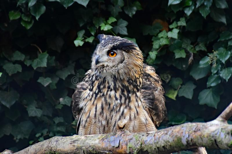Unspecified Owl on Branch. Owls are birds from the order Strigiformes, which includes about 200 species of mostly solitary and nocturnal birds of prey typified stock image