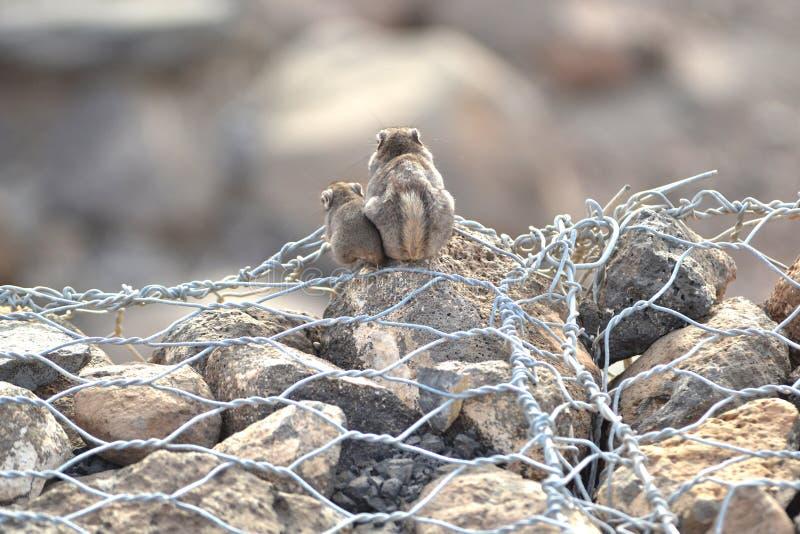 Unstriped jordekorre i Djibouti royaltyfria foton