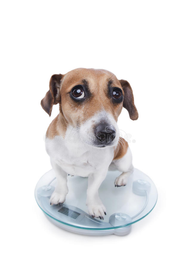 Unsuccessful pet diet. A cute little dog is sitting on the scales to weigh in body weight and guiltily looking at the camera. Sad sight stock photo