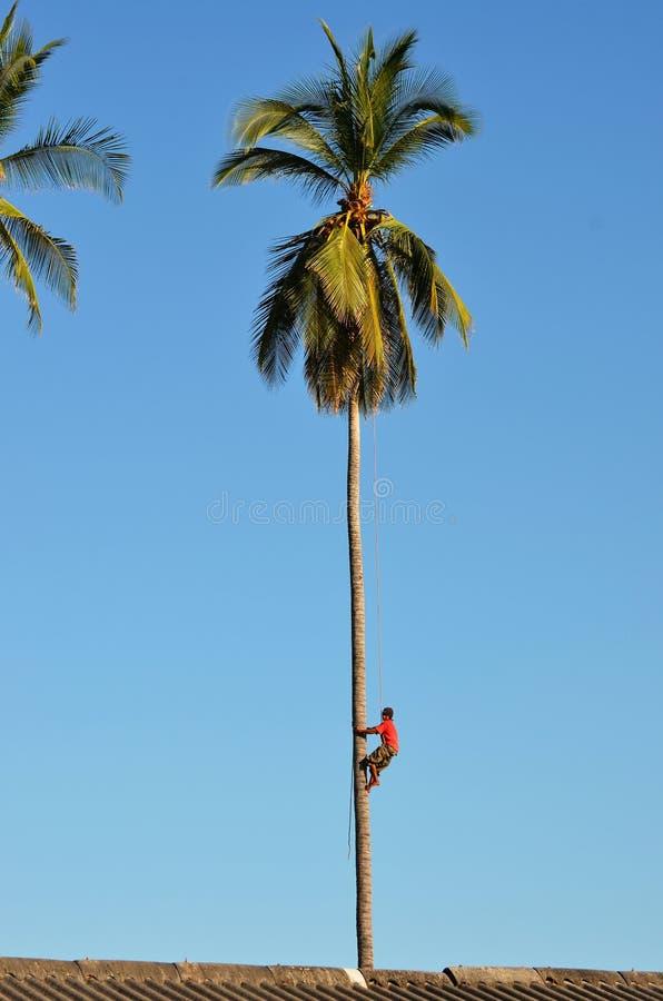 Unten klettern von der Spitze einer Palme stockfotografie