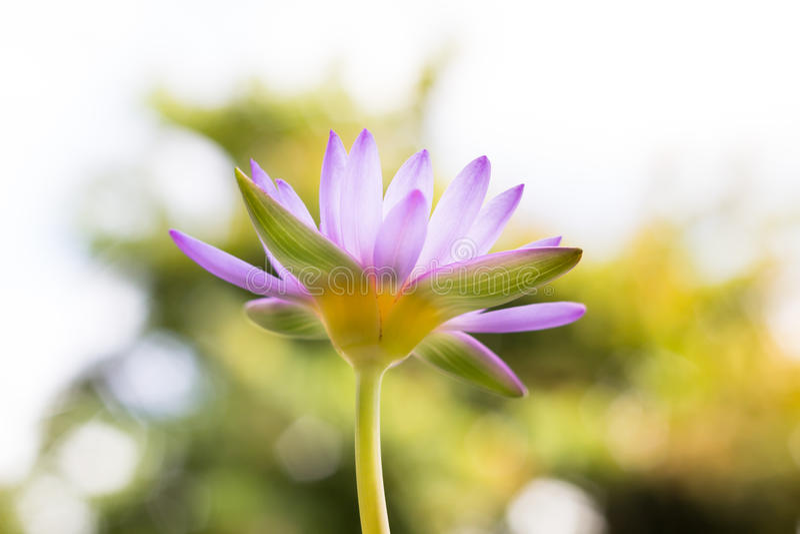 Unter Ansicht schöner purpurroter Lotus-Blume oder -Seerose auf Unschärfe b stockfoto