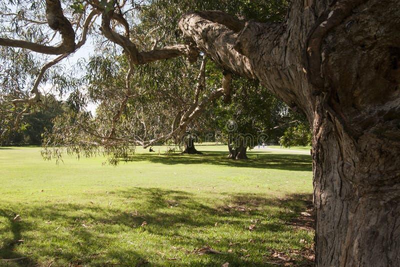 Unter dem Eukalyptus eines Mädchens, der über dem Rasen im Herbstsonnenschein schaut stockbild