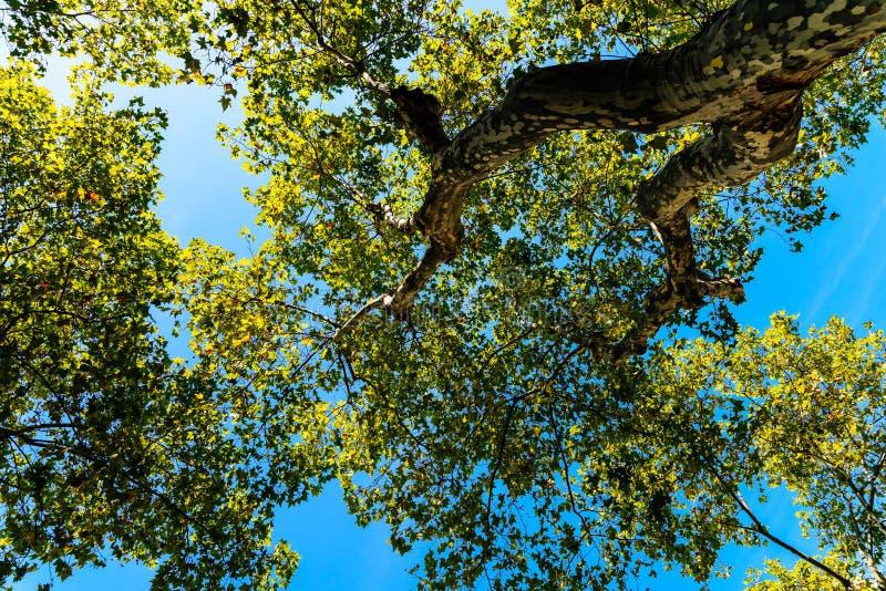 Unter einer Baum-Ansicht von Niederlassungen und von Blättern auf blauem Himmel stockfoto