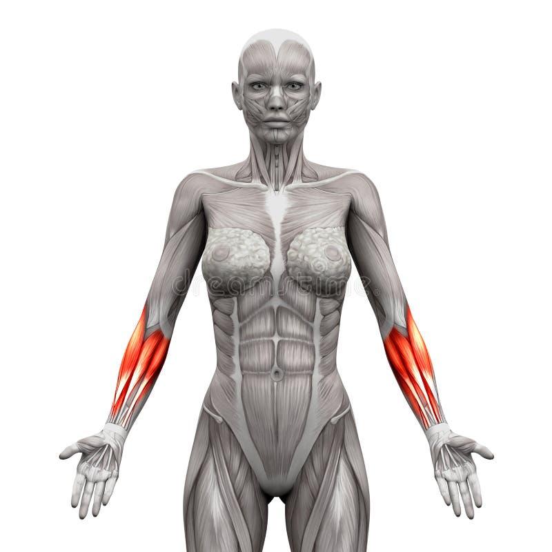 Unterarm Mischt - Die Anatomie-Muskeln Mit, Die Auf Weiß- Illustr 3D ...