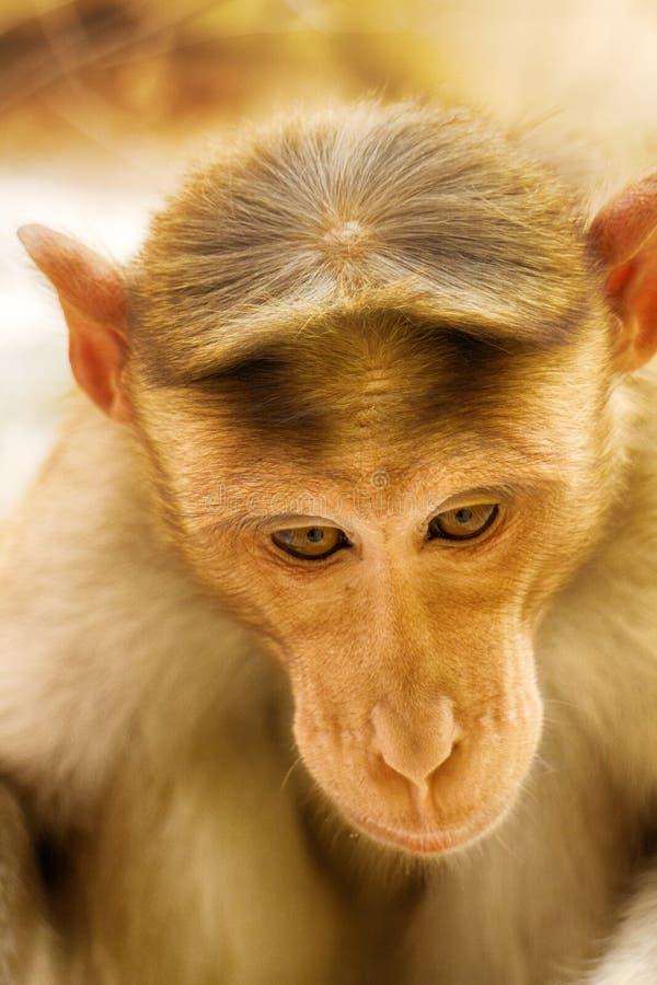 Unterhaltsame Porträts des indischen Affen stockbild