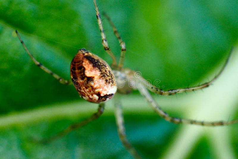 Unterleib einer Kamm-füßigen Spinne (spinnenartige Tiere) stockbilder