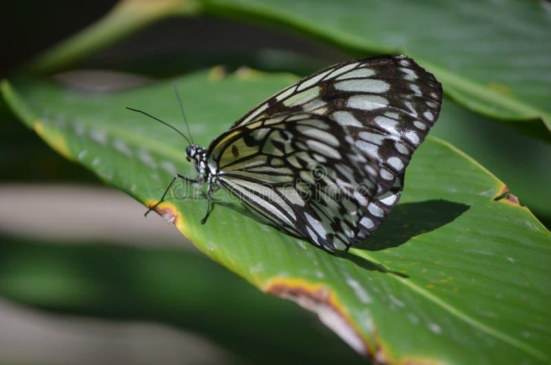 Unterscheidungszeichen auf einem großen weißen Baum-Nymphen-Schmetterling lizenzfreie stockfotografie