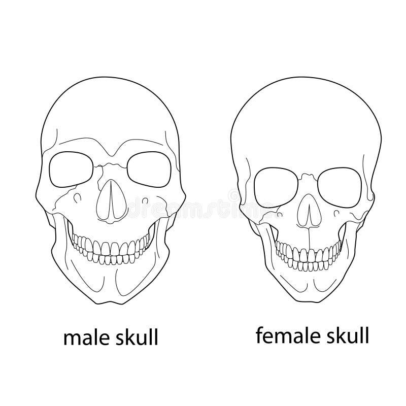 Unterschiede Des Männlichen Und Weiblichen Schädels Vektor Abbildung ...