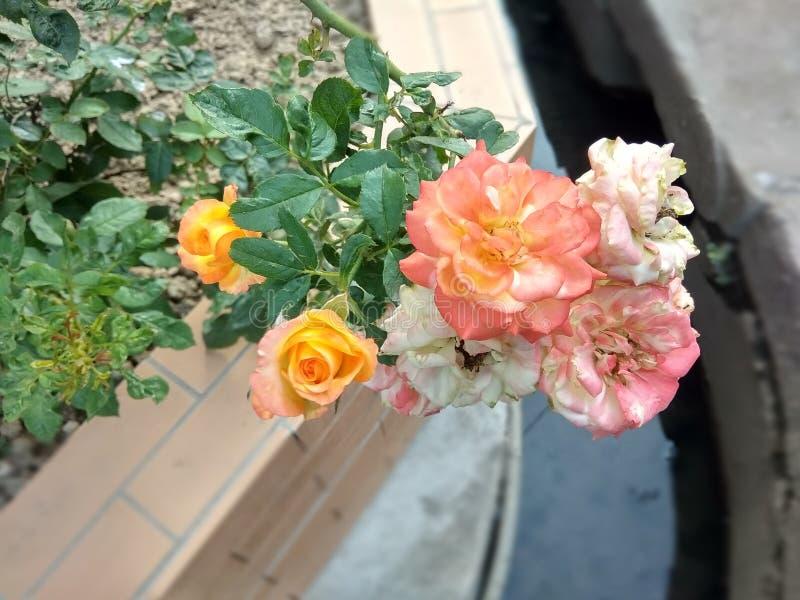 Unterschiedliche farbige Rose in einem einzelnen Bündel stockbilder