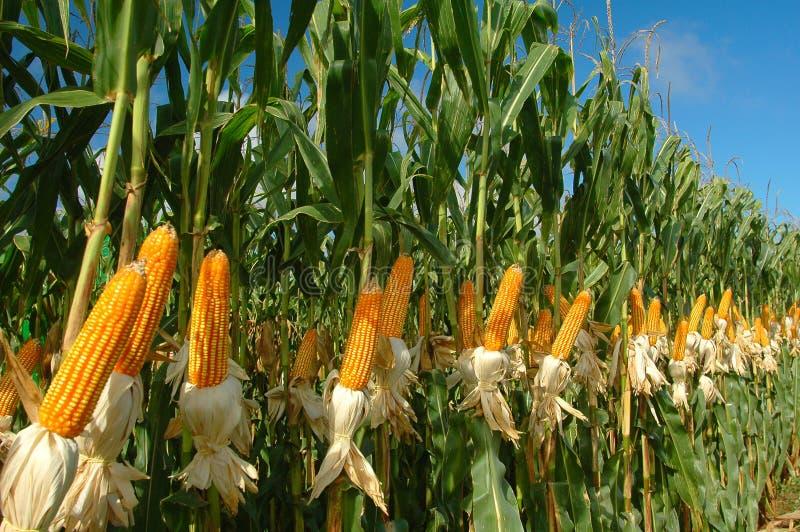 Unterschiedliche Maisplantage stockbild