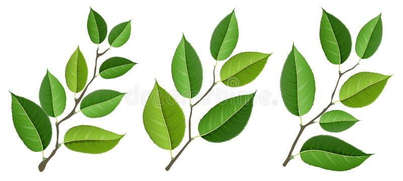 Unterschiedlicher Baumastsatz mit den Grünblättern, lokalisiert auf Weiß lizenzfreie abbildung