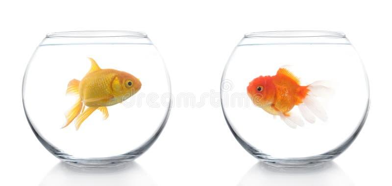 Unterschiedlicher Goldfish zwei lizenzfreies stockfoto